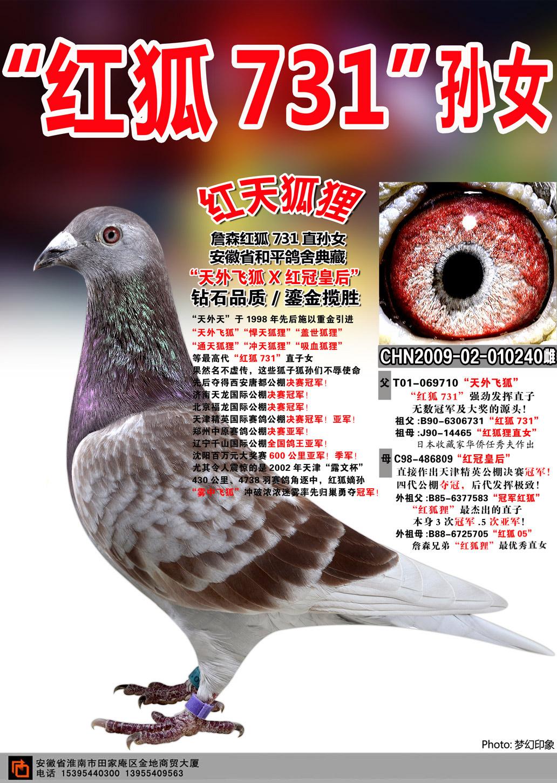 红狐狸 红狐731 种鸽展示图片