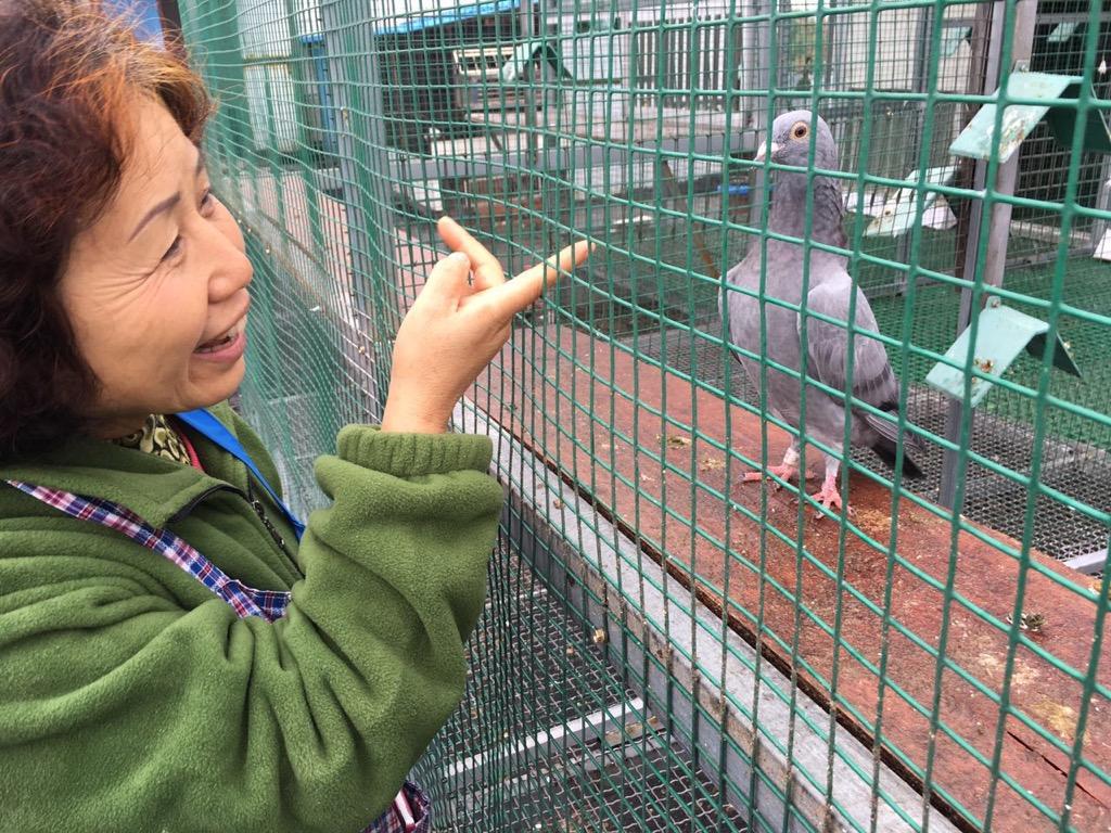 所有主力种鸽基都来源于天津邓文敏老师处,邓文敏的妻子和薛宝蓉老